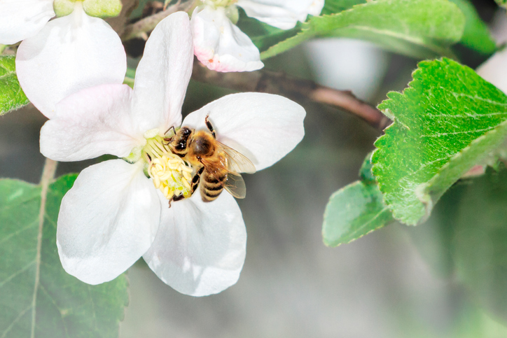 Apple Flower with bee collecting nectar